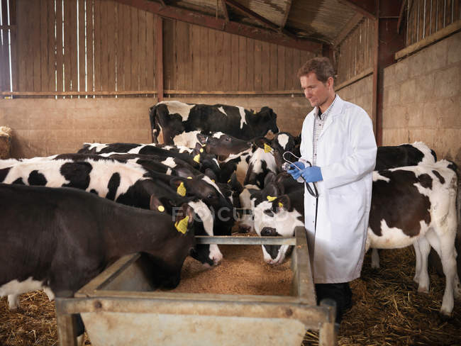 Vet inspecting calves feeding from trough in farm shed — Stock Photo