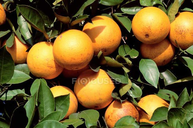 Orange tree full of ripe fruit, close up shot — Stock Photo