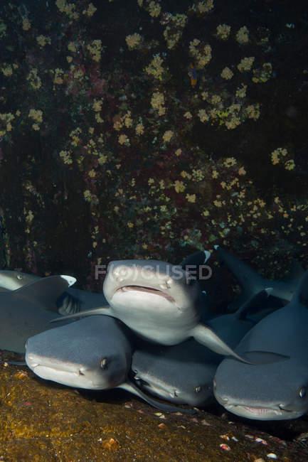 Unterwasser-Blick der Herde Requiem Haifische auf der Untiefe — Stockfoto