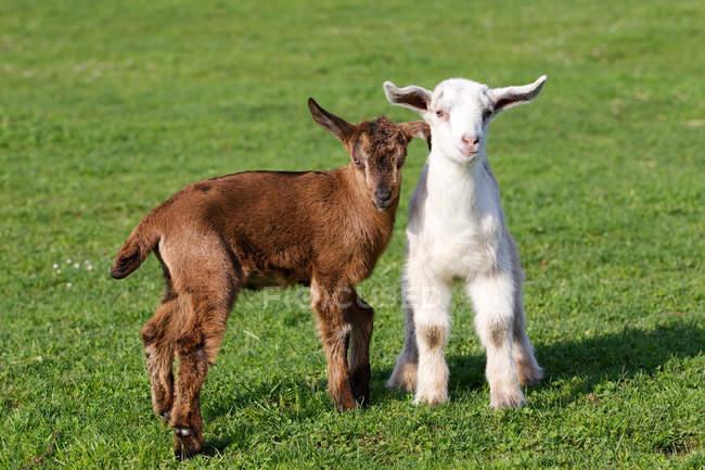 Deux chevreaux sur champ vert — Photo de stock