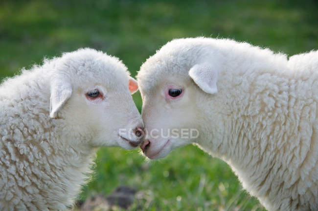 Two lambs face to face — Stock Photo