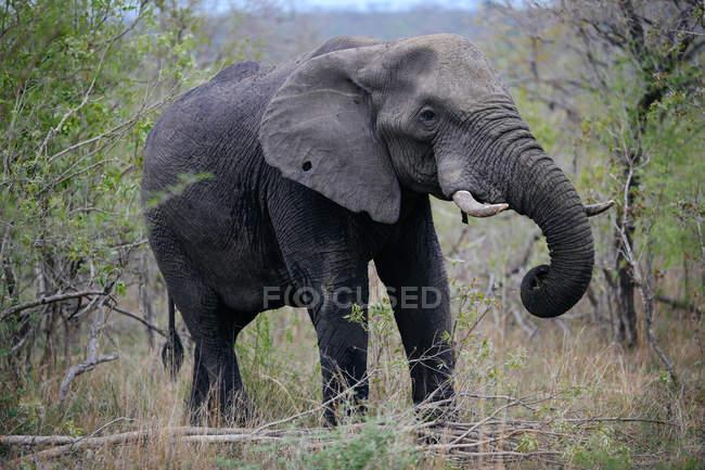 Elephant at Sabi Sand Game Reserve — Stock Photo
