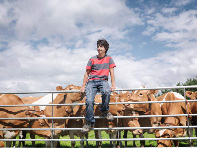 Rapaz com vacas Guernsey — Fotografia de Stock