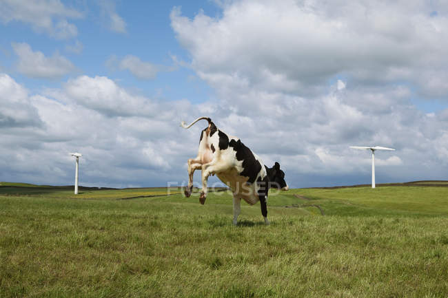 Cow jumping on field — Stock Photo