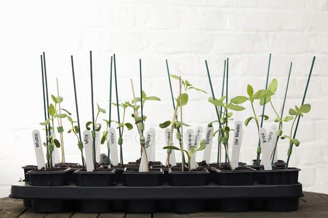 Piante da girasole su tavolo da giardino in serra — Foto stock