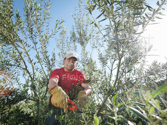 Man pruning olive trees — Stock Photo