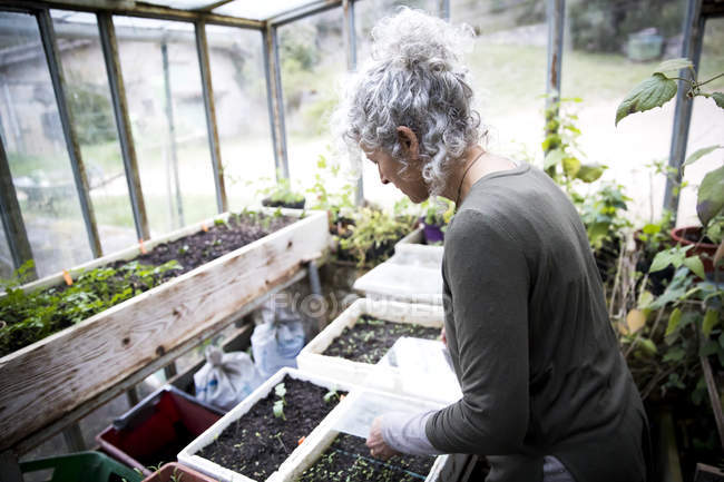 Mature female gardener tending seedlings in greenhouse — Stock Photo