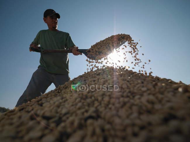 Travailleur pelletant des grains de café — Photo de stock