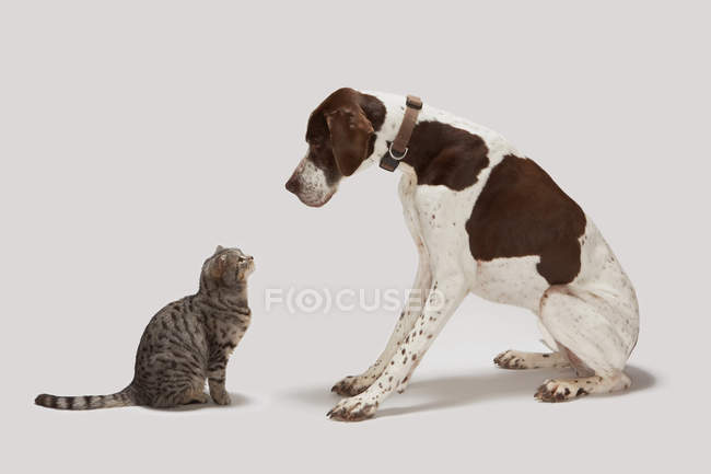 Pointer dog and cat looking at each other — Stock Photo