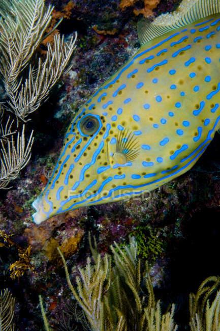 Vista ravvicinata del filefish scarabocchiato — Foto stock