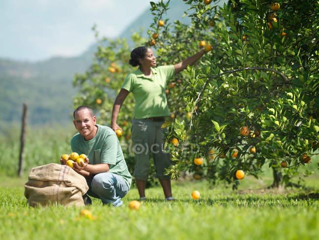 Workers Picking Oranges in garden — Stock Photo