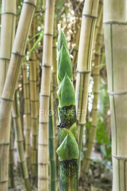 Plante de bambou en croissance, gros plan — Photo de stock