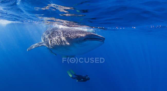 Requin baleine avec plongeur nageant en dessous — Photo de stock