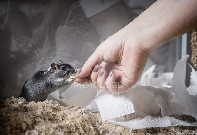 Gerbil being fed by female hand — стоковое фото