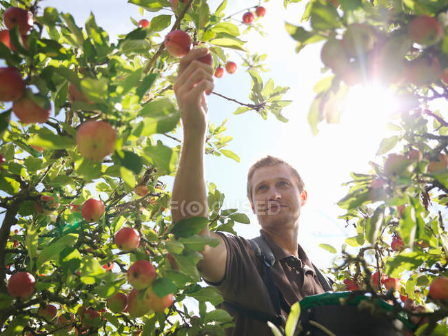 Farmer picking apples in orchard — Stock Photo