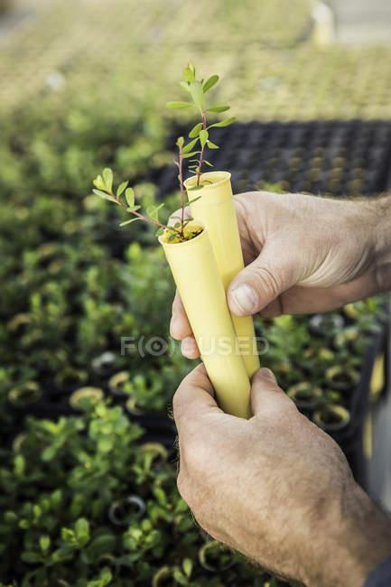 Primo piano delle mani che tengono due piantine nel centro di ricerca sulla crescita delle piante — Foto stock