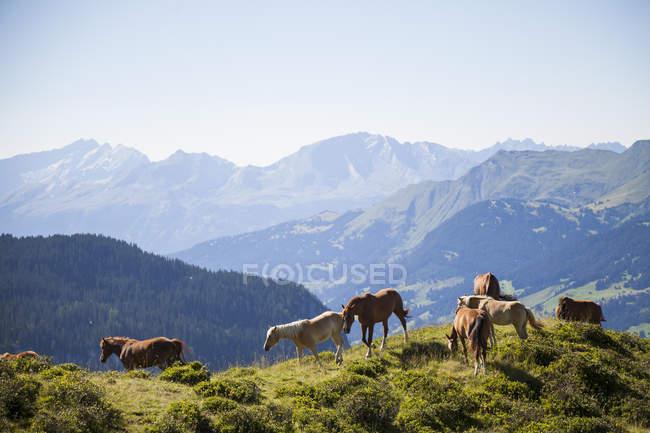 Horses grazing in mountains, Schanfigg, Graubuenden, Switzerland — Stock Photo
