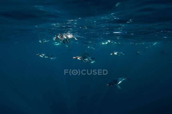 Купание в воде пингвины — стоковое фото