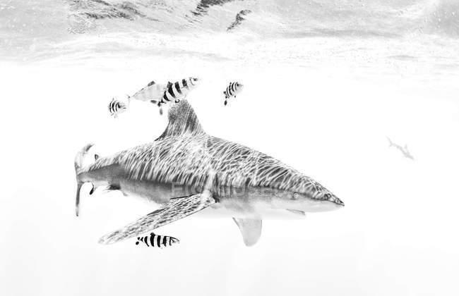 Vista subacquea di squalo nuotare con i pesci piccoli — Foto stock