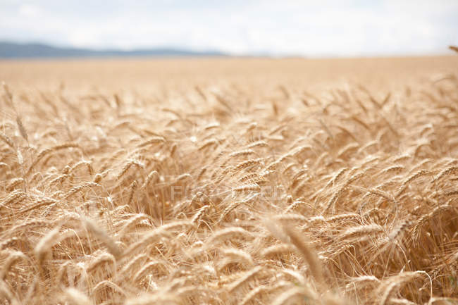 Scenic view of wheat field at daytime — Stock Photo