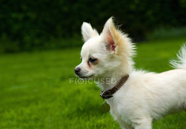 Long haired chihuahua standing on grass — Stock Photo