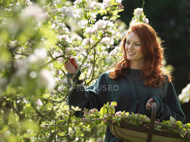 Woman Cutting Apple Blossom In Orchard — Stock Photo