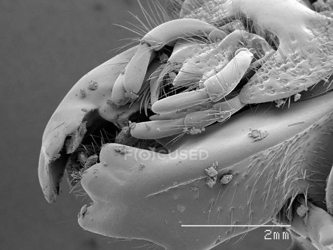 Scanning electron micrograph of mouthparts of passalidae beetle — Stock Photo