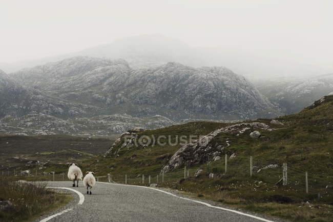 Овець ходіння по дорозі, острова Льюїс, Західне узбережжя Шотландії — стокове фото