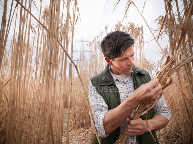 Farmer inspecting Miscanthus, or Elephant grass, on biomass farm at harvest time — Stock Photo