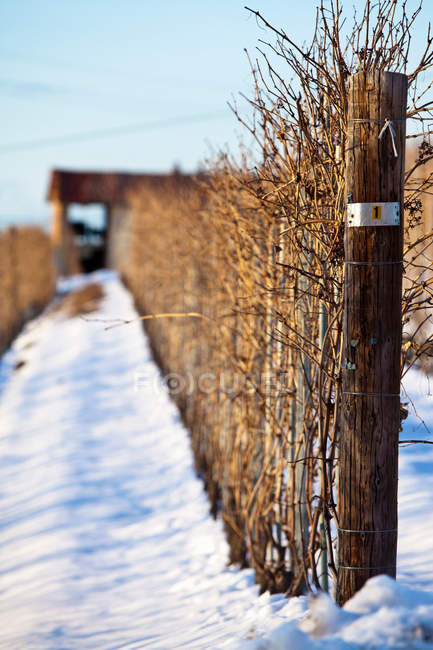 Vines growing on poles in snow — Stock Photo