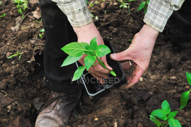 Man de-potting plant in soil — Stock Photo