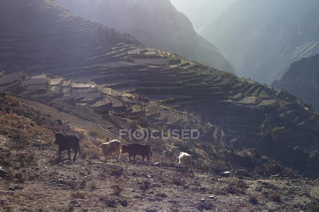 Vaches marchant sur flanc de montagne, Canyon de Colca, Pérou — Photo de stock