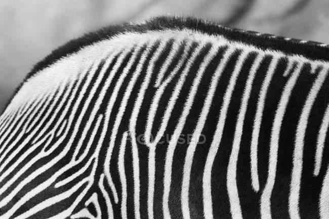 Крупный план шкуры зебры — стоковое фото