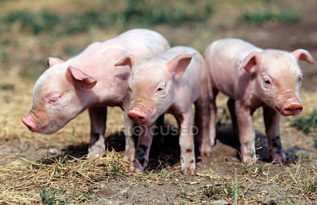 Tres cerditos en el campo de hierba - foto de stock