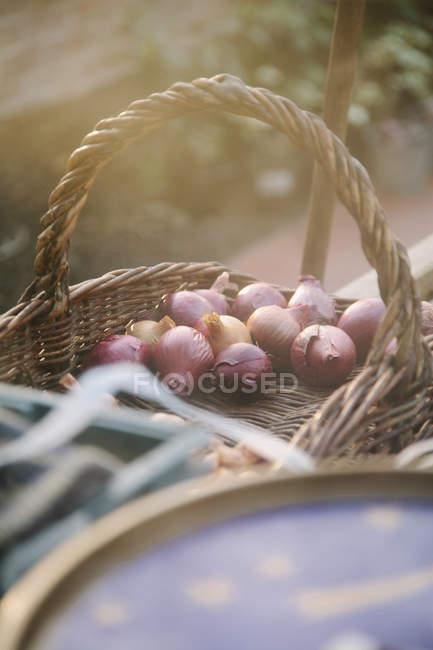 Cesta de bulbos da planta em estufa — Fotografia de Stock