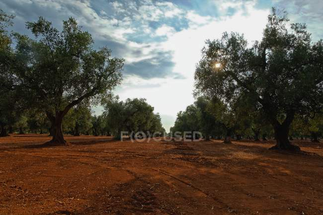 Olive trees in a rows, Veglie, Lecce, Puglia, Italy — Stock Photo