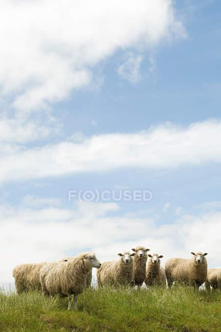 Schaf stehend auf Wiese unter blauem Himmel bewölkt — Stockfoto