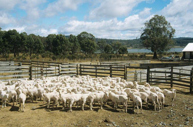 Flock of sheep in corral under blue cloudy sky — Stock Photo