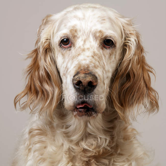 Chien setter anglais — Photo de stock