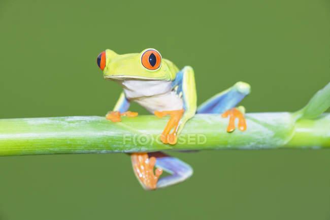Красноглазая лягушка на стебле растения — стоковое фото