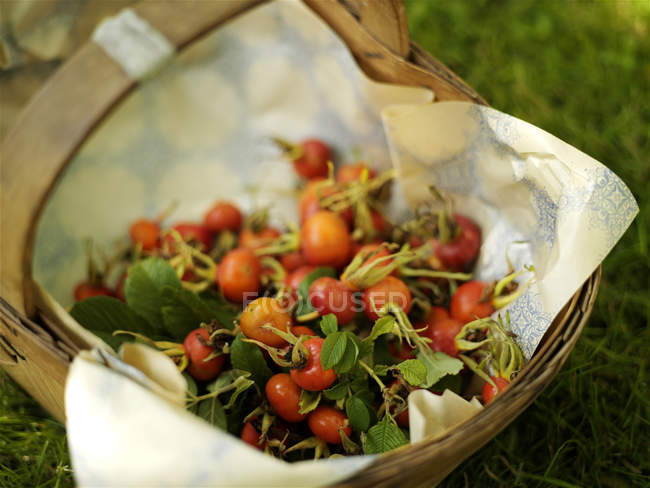 Basket full of picked rosehips in garden — Stock Photo