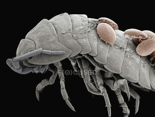 Micrografia eletrônica de varredura colorida de ácaros na parte de trás do pillbug — Fotografia de Stock