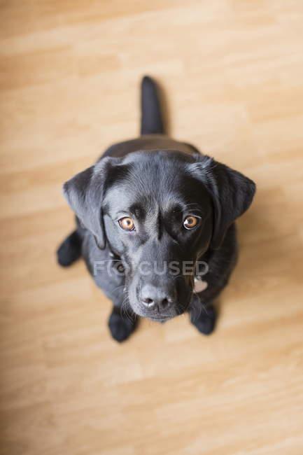 Черный лабрадор, сидящий на полу — стоковое фото