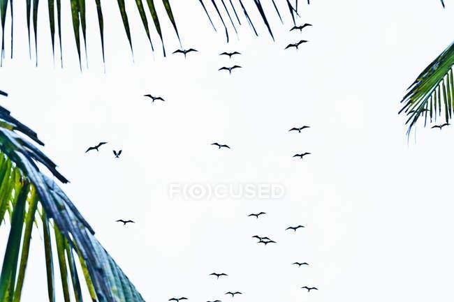 Flock of silhouetted birds flying overhead, Ipanema beach, Rio De Janeiro, Brazil — Stock Photo