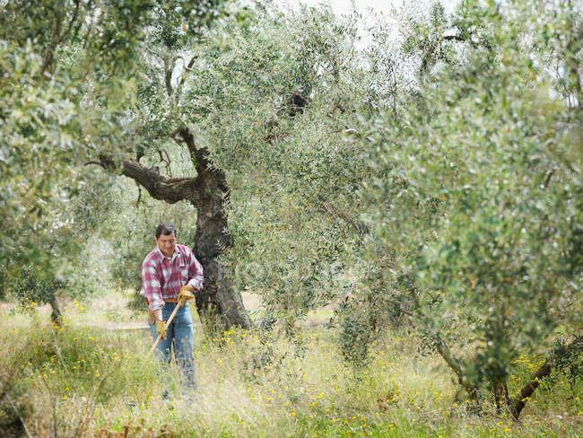 Man raking in olive grove — Stock Photo