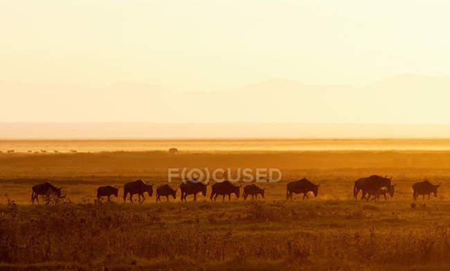 Manada de ñus caminando en el Parque Nacional de Amboseli - foto de stock