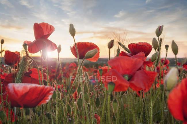 Vue rapprochée de magnifiques coquelicots rouges au champ de pavot au coucher du soleil — Photo de stock