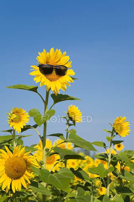 Подсолнечник в солнцезащитные очки на поле с четкие голубое небо — стоковое фото