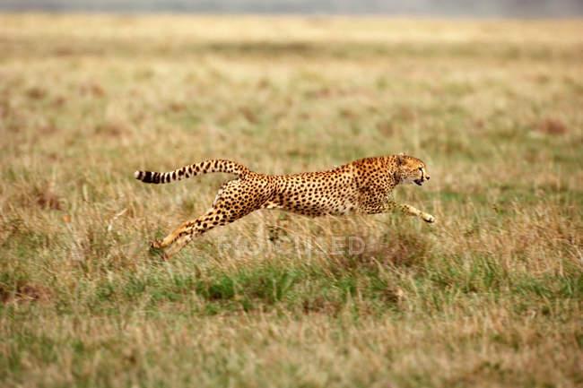 Bewegungsaufnahme der laufenden Geparden auf Grünland — Stockfoto