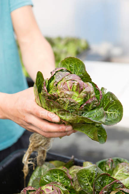 Cropped image of man holding fresh lettuce — Stock Photo